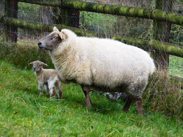 Our second lamb at 1 day old