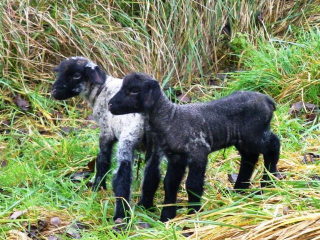 P1080998 lambs web
