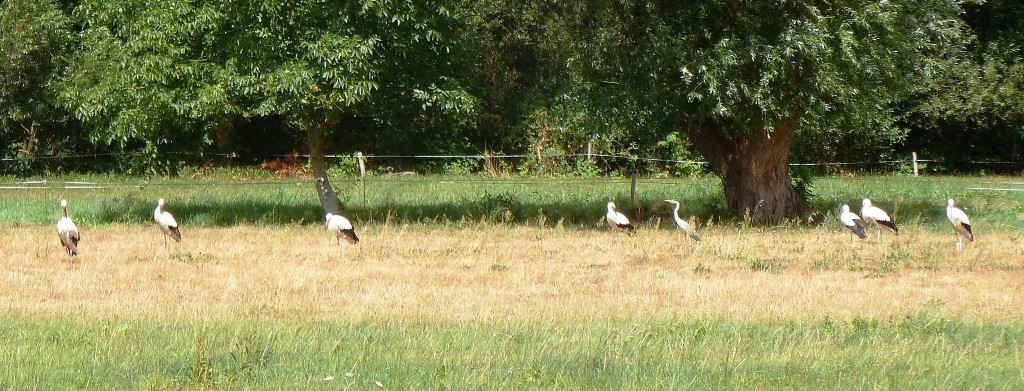 Rare white storks as we head into the Vosges Mountains