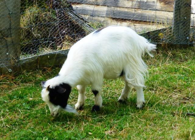 Cute resident miniature goats