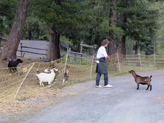 A goat escapes !