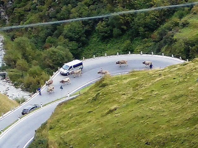 The cows continue round a hairpin !!