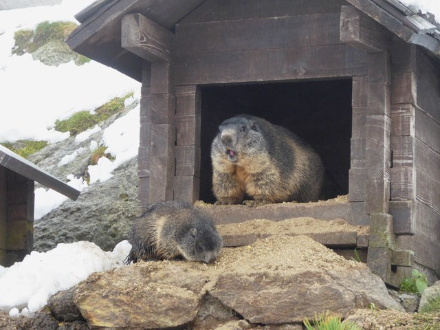 Marmots in the snow