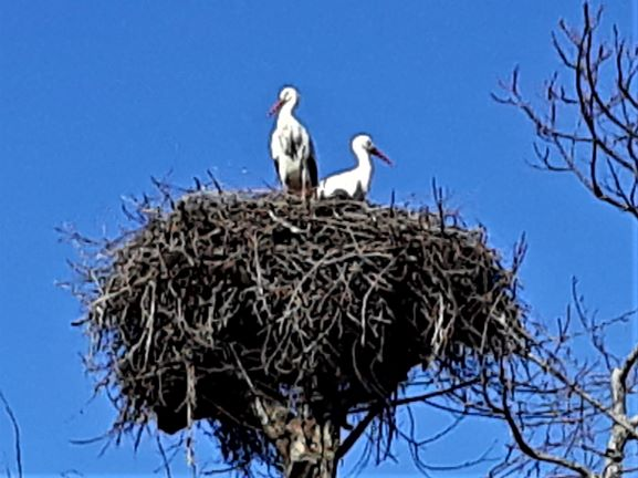 Look out for high-nesting storks