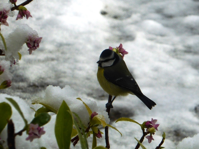 Bluetit in the snow