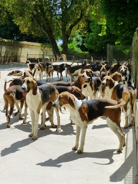 See the hunting hounds