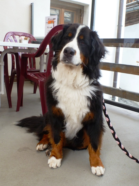 A Bernese Mountain Dog in the cafe en-route