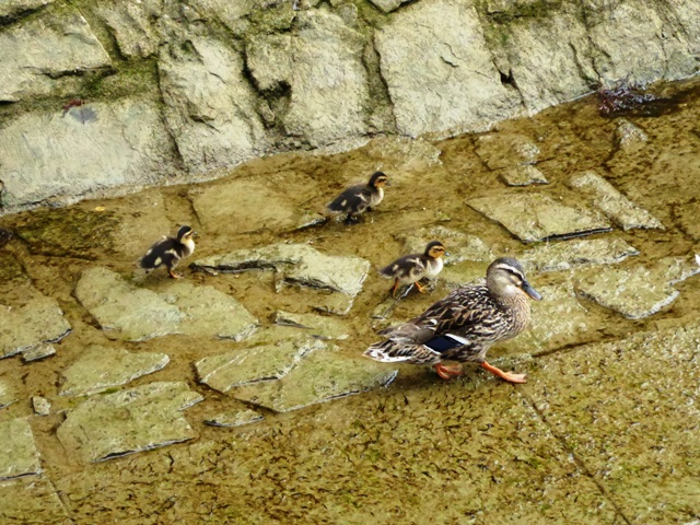 The cutest little ducklings