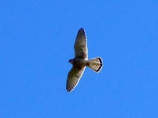 A Lesser Kestrel flies above us