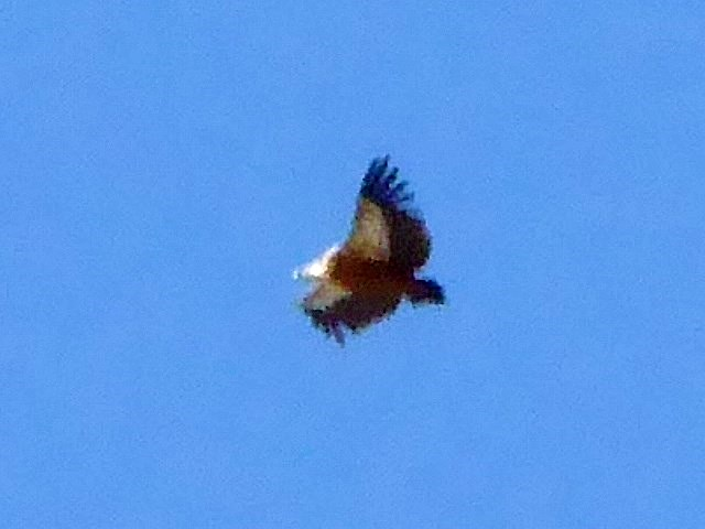Even higher up - a Booted Eagle