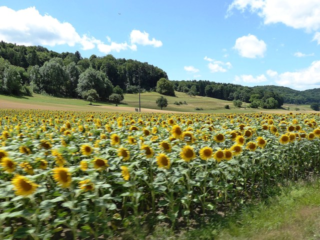 and fields of sunflowers