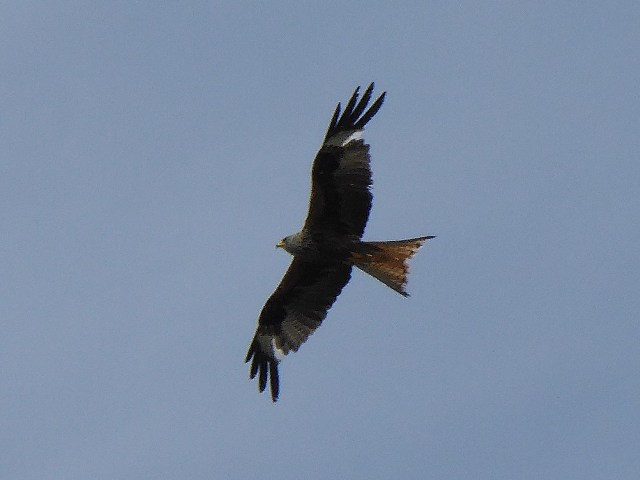 A red kite soars overhead